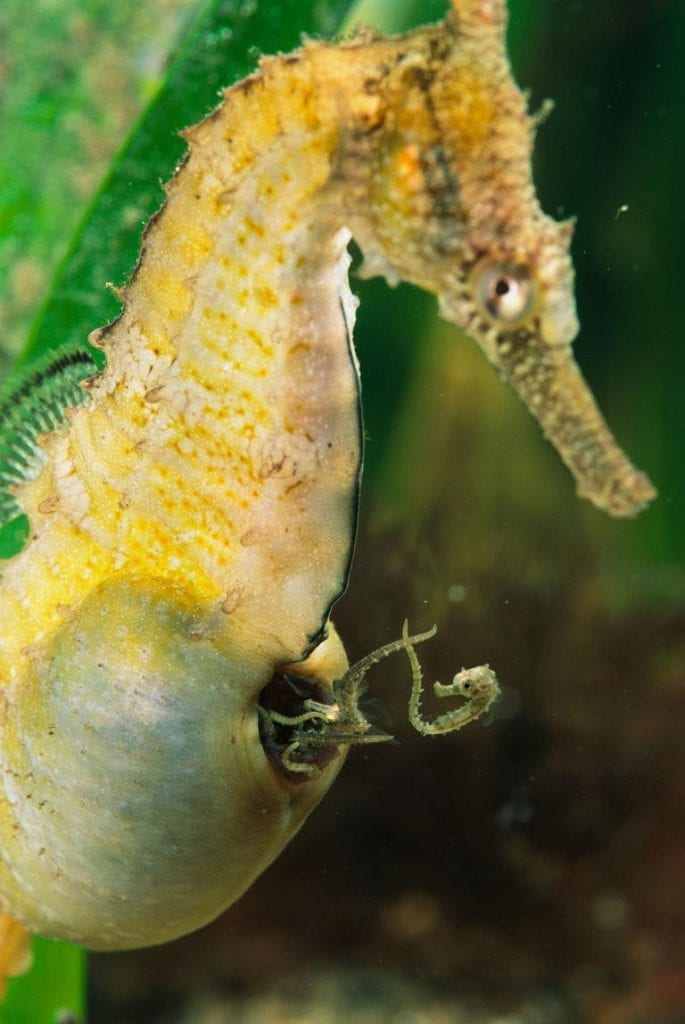 A male seahorse giving birth.