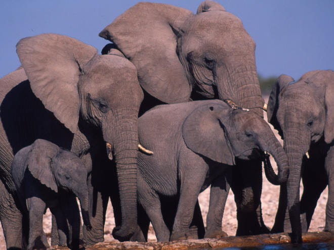 A group of African elephants.