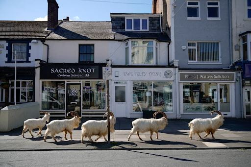 Mountain goats walking the streets of Wales.
