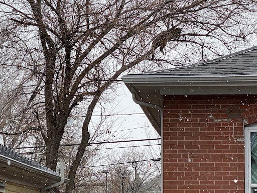 A mountain lion in a tree above someone's house.