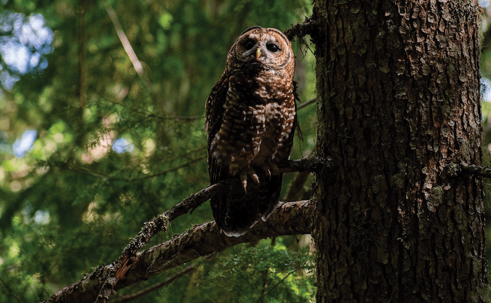 Picture of a spotted owl