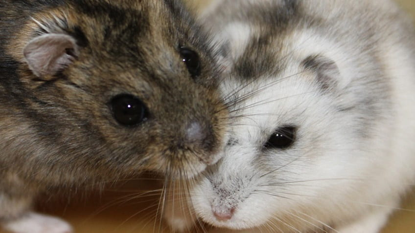 Hamsters take cues from decreasing day length to prepare for the long winter