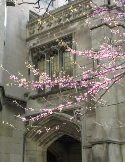 A blossoming spring tree outside a neo-gothic building on the quad