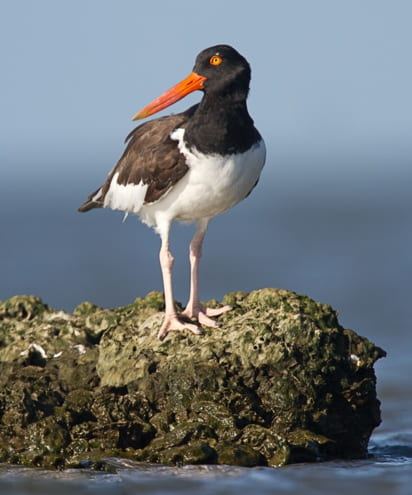 Oystercatcher standing on a rock