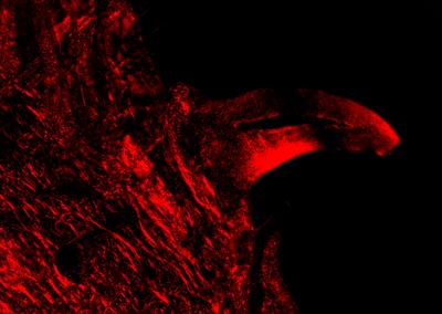 Hydrolagus cranial clasper