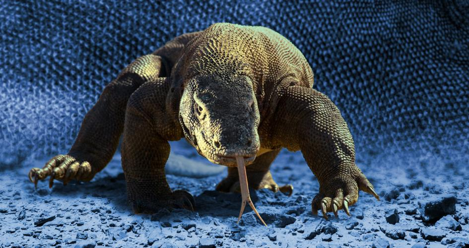 Komodo dragons provide insights into microbial health in captive animals