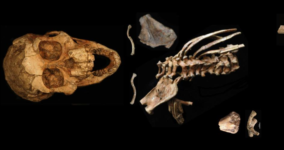 3.3 million-year-old fossil of young girl reveals origins of human spine