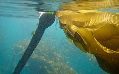Surprising help from kelp (and the bacteria who support them)