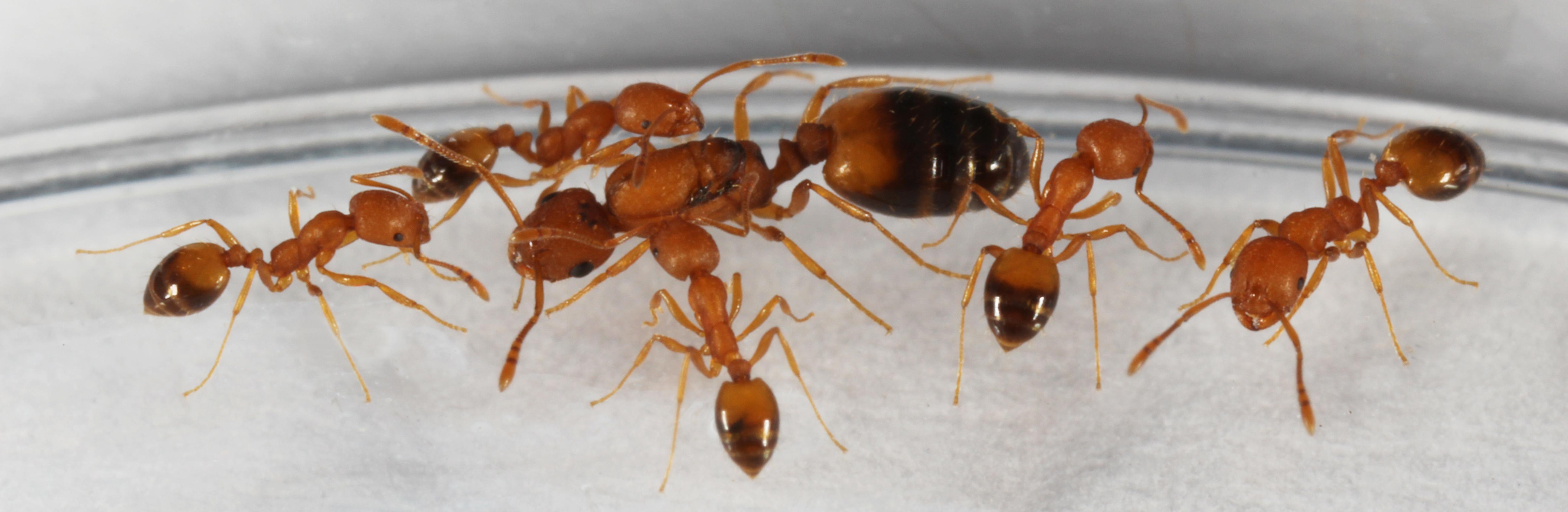 The Pharaoh Ant – Monomorium Pharaonis – Linksvayer Lab