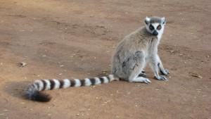 Lemur_catta_001