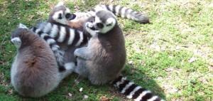 lemur-pile2