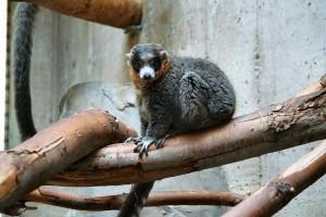 mongoooselemur