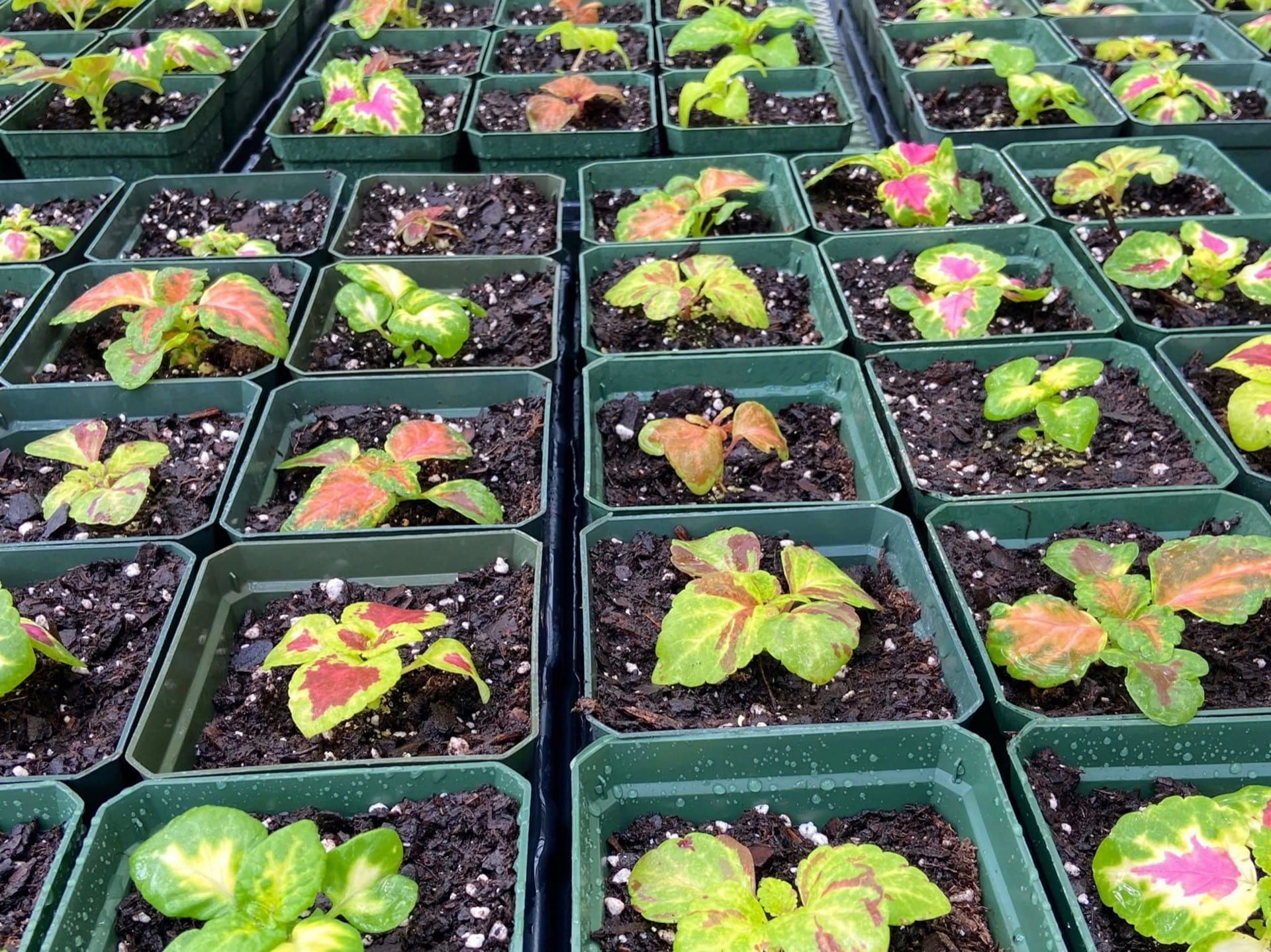Plectranthus scutellarioides, commonly knows as Coleus, seedlings growing for Biology classes.