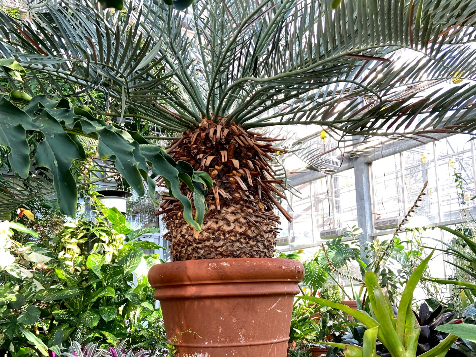 This Encephalartos lehmannii is the oldest plant in the collection at over 100 years old.