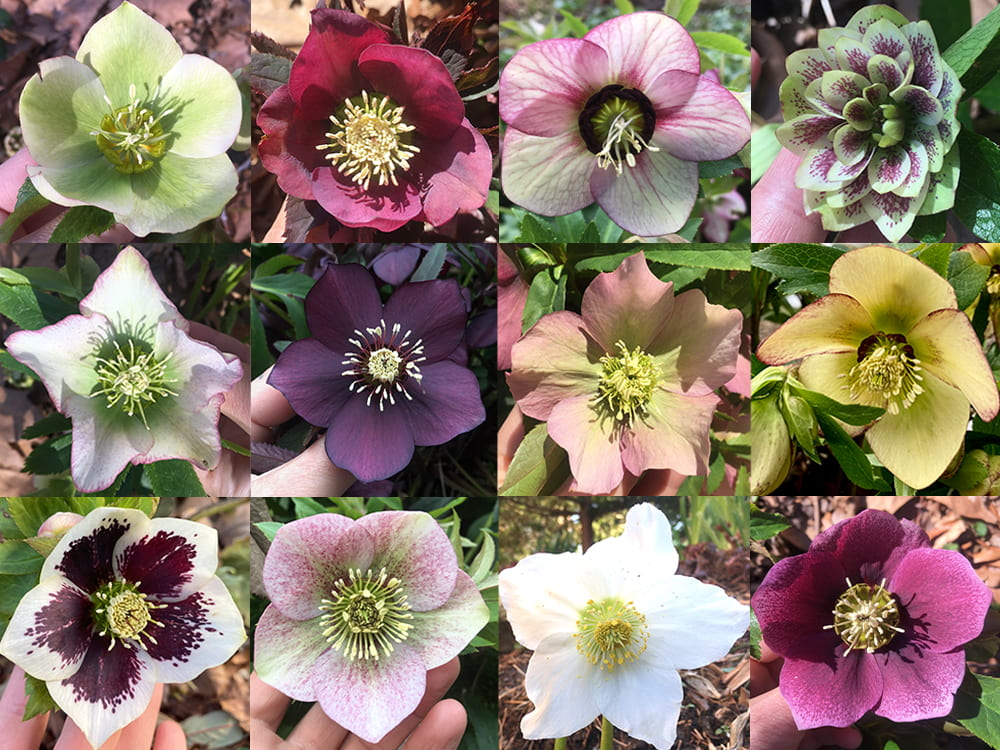 A collage showing the variety of Hellebore flowers growing at the park.