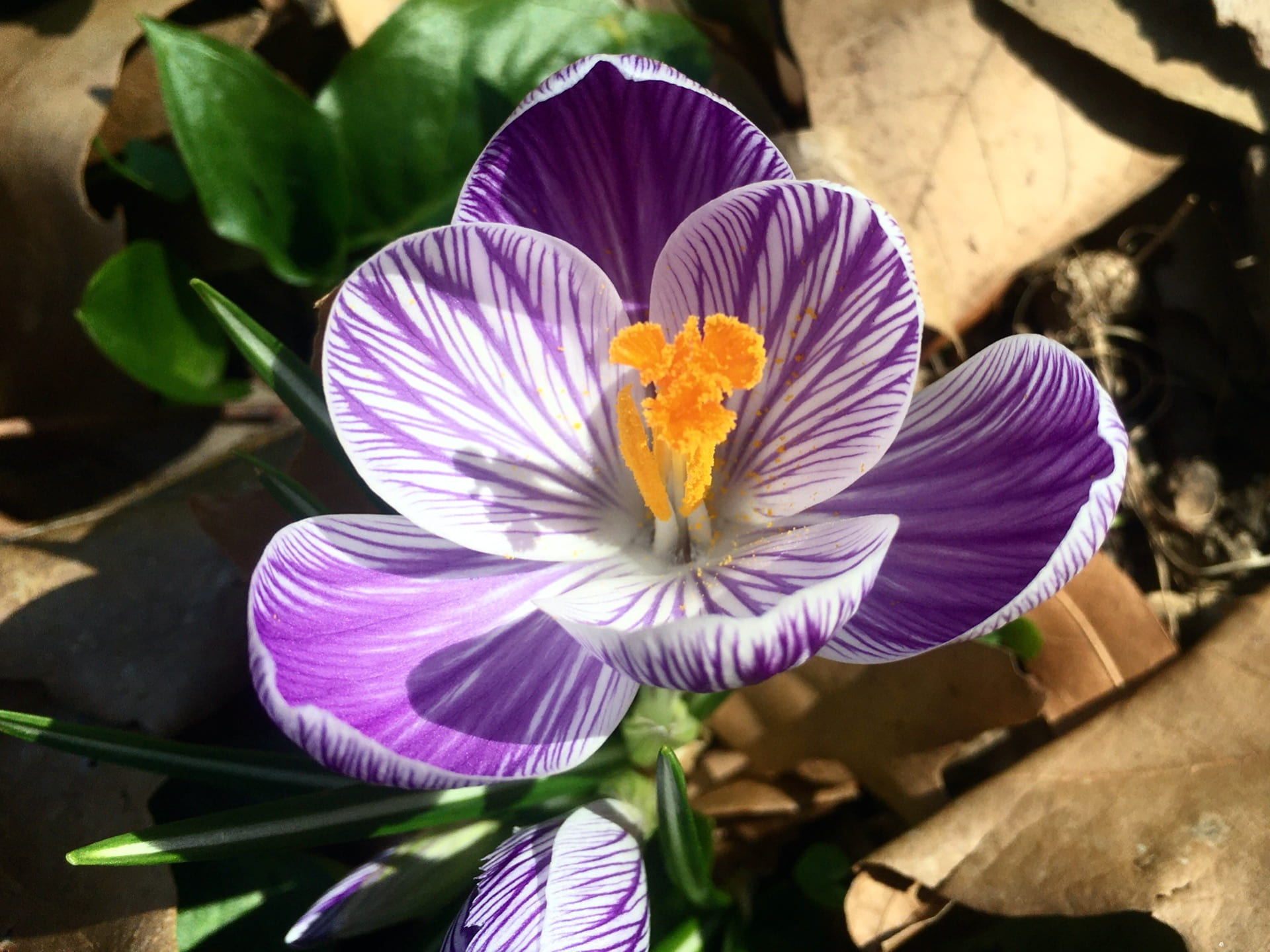 A detailed look at Crocus 'Pickwick'.