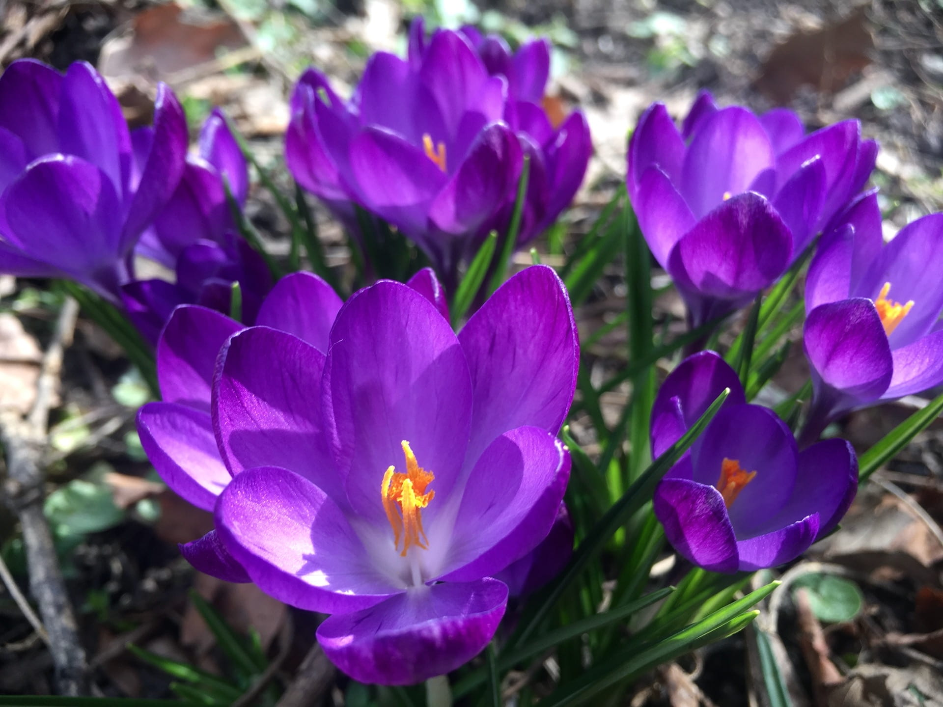 While they are small, the bright purple flowers of Crocus 'Flower Record' make a statement.