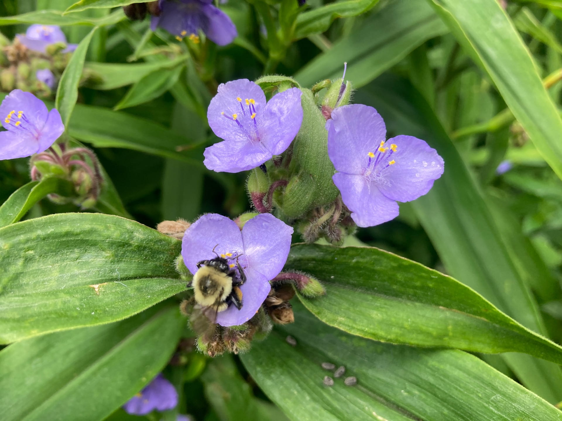 The long blooming flowers of Tradescantia virginiana attract pollinators through the summer.