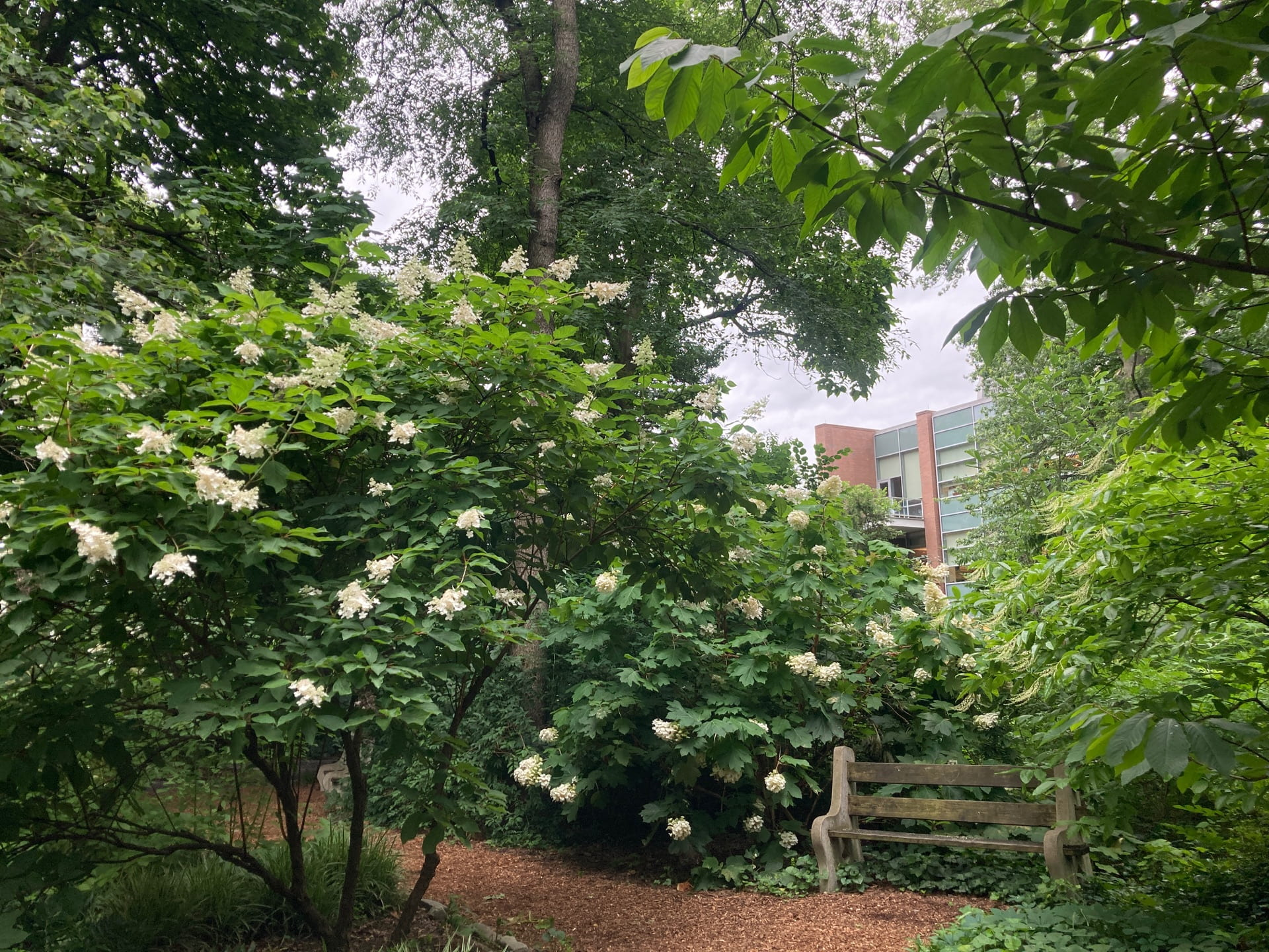Hydrangea season arrives at the park. Here H. paniculata and H. quercifola border the pathway.