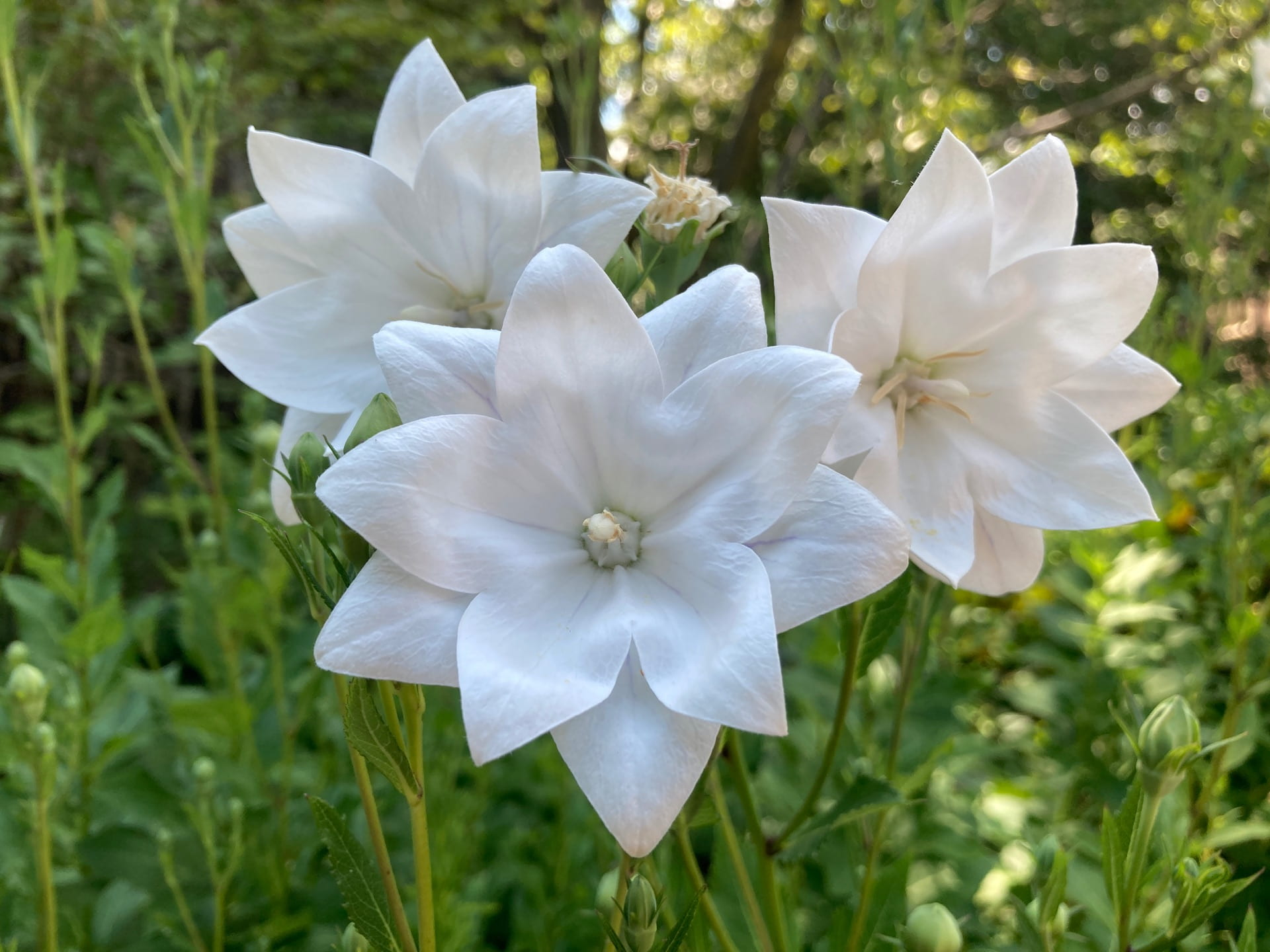 Balloon flower, Platycodon grandiflorus 'Astra Double White', blooms outside of Leidy Labs.