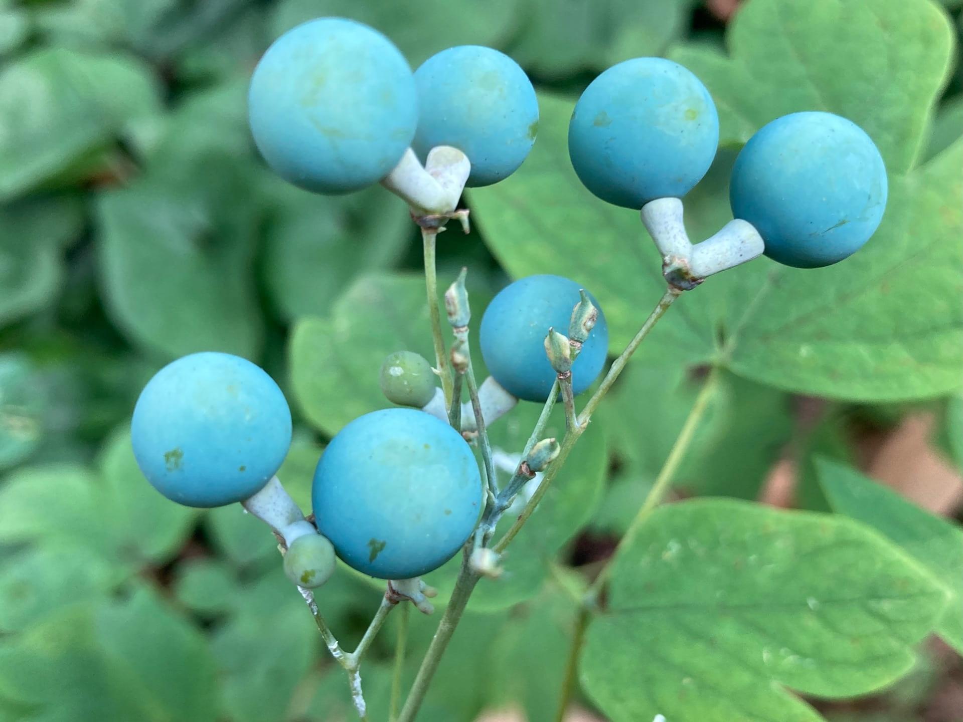 Blue cohosh (Caulophyllum thalictroides) bears glaucous twin fruits.