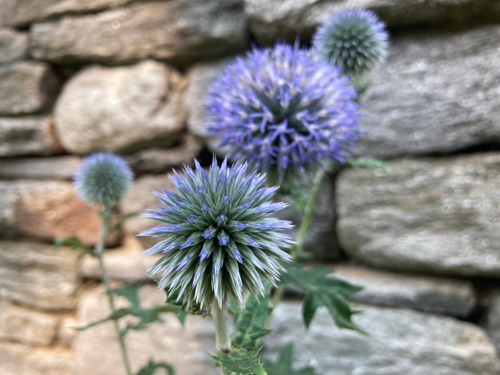 The geometric flowers of the glob thistle. Echinops cv. add an architectural element to the Rock Garden.