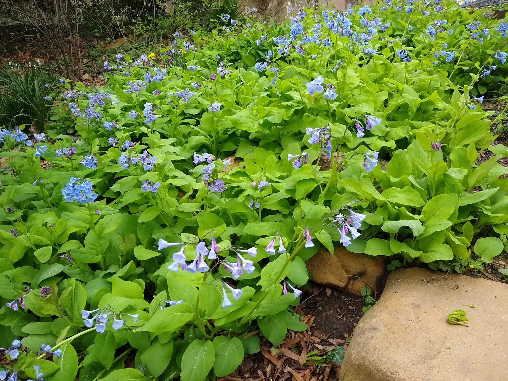 Mertensia virginica cascades down a hill side at the pond.