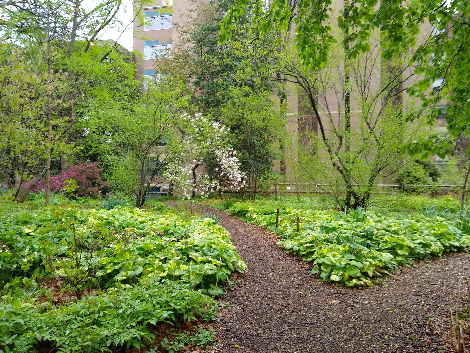 Petasites japonicus carpets the Woodland Garden.