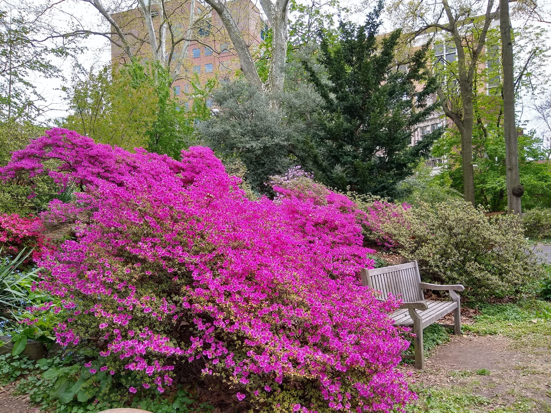Pink Rhododendrons surround a bench over looking the pond.