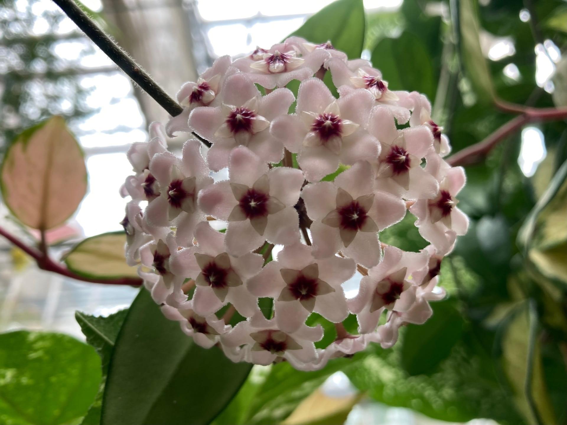Looking up into the blooms of Hoya carnosa 'Variegata'.
