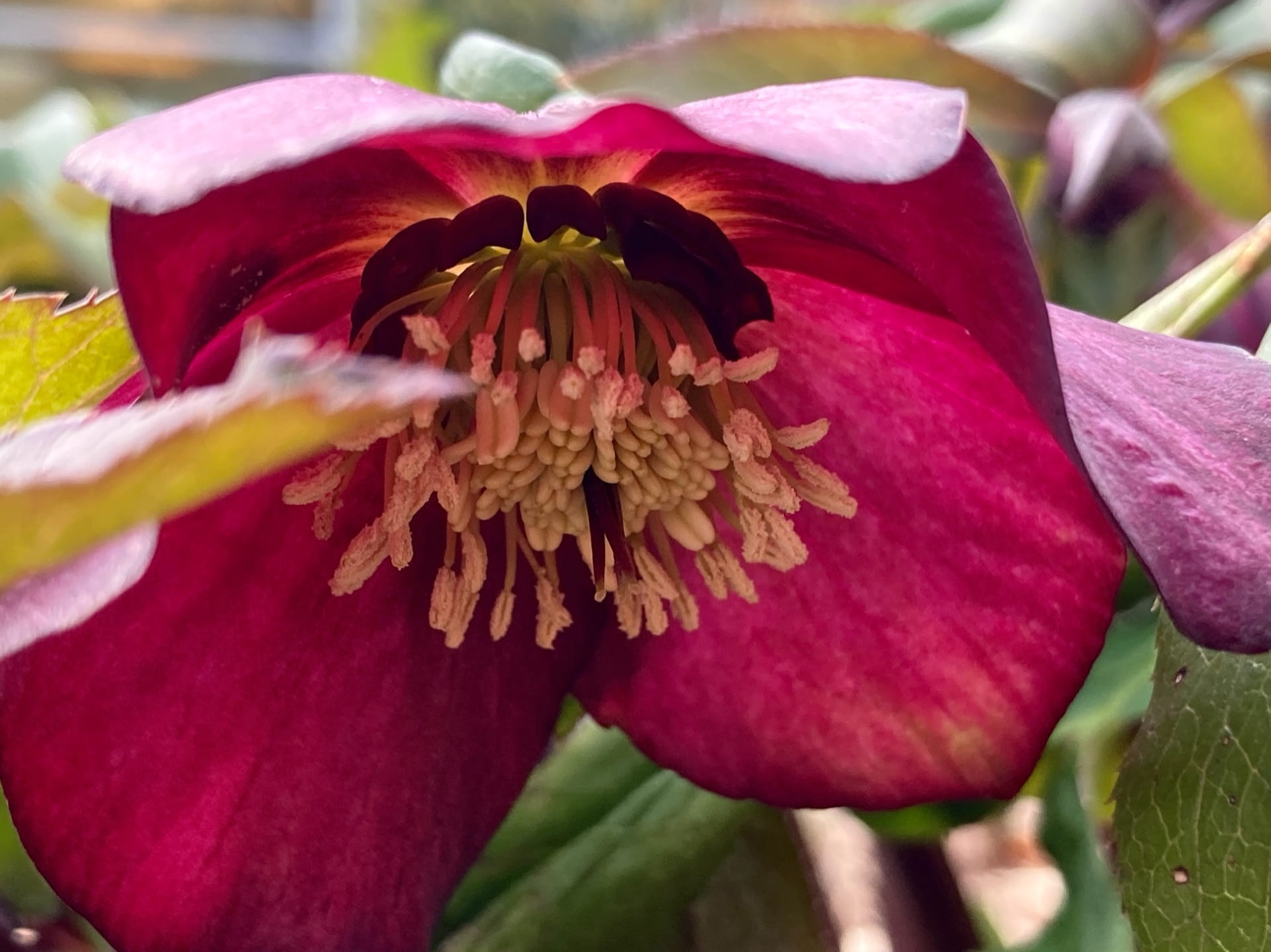 The up-close crimson drama of Helleborus x hybridus.