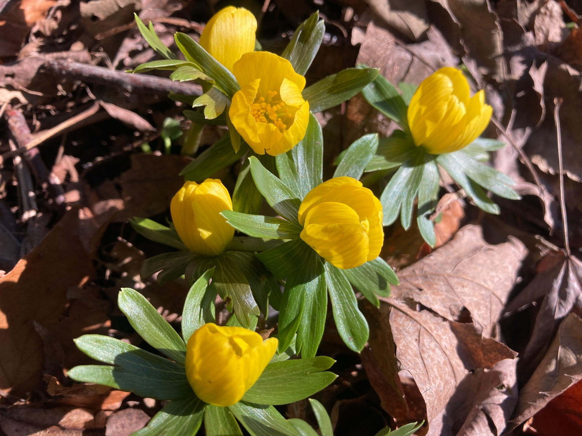 Eranthis hyemalis making an appearance after the snow melted away.