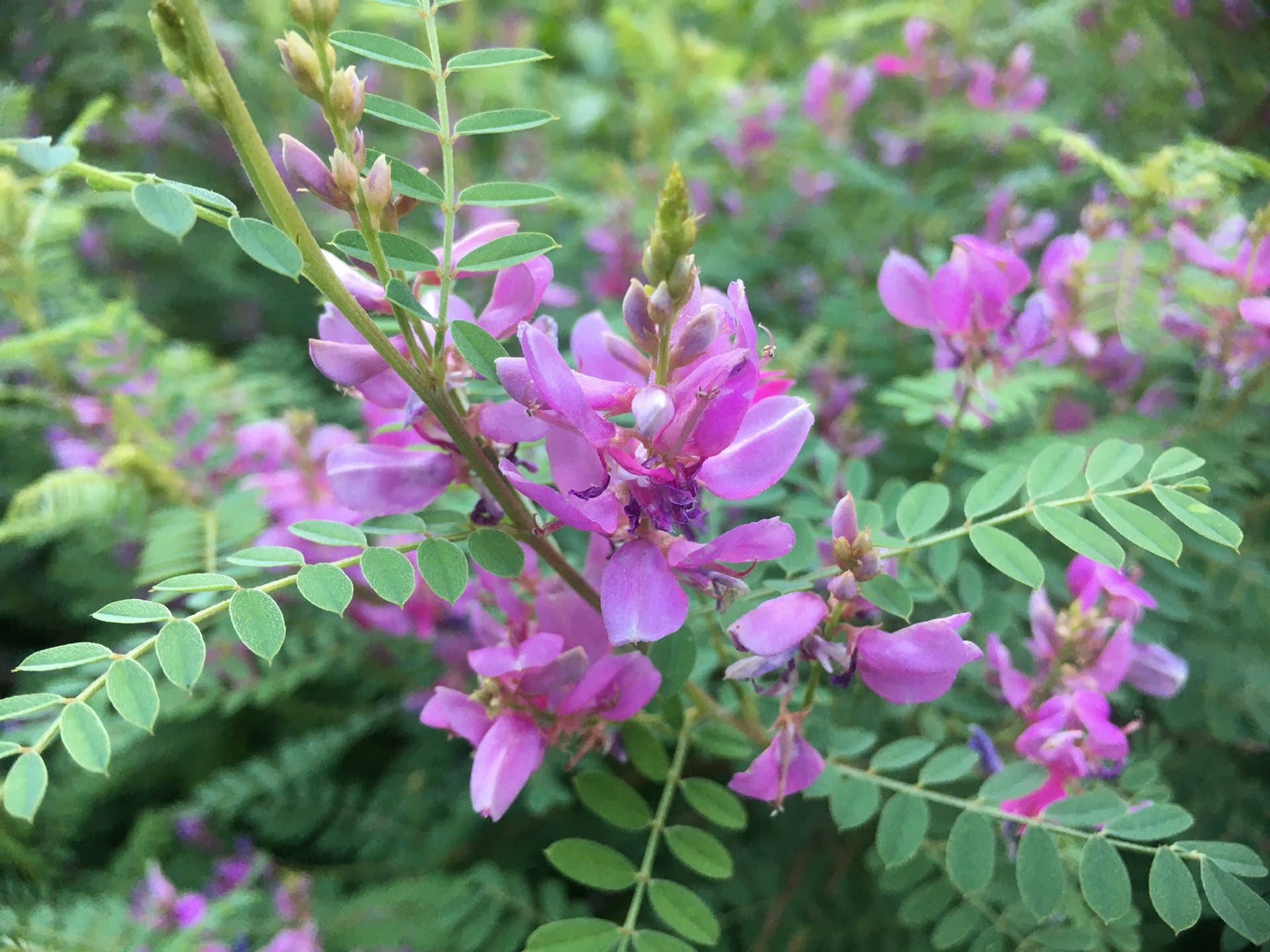 Indigofera's pink blossoms contrast beautifully with its blue-green foliage.