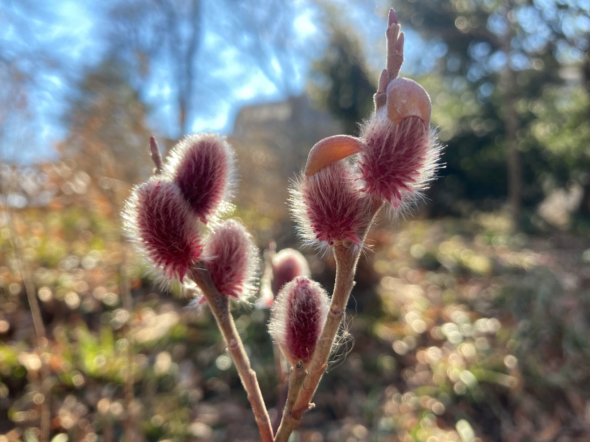 Salix gracilistyla 'Mt. Aso' backlight by the winter sun.