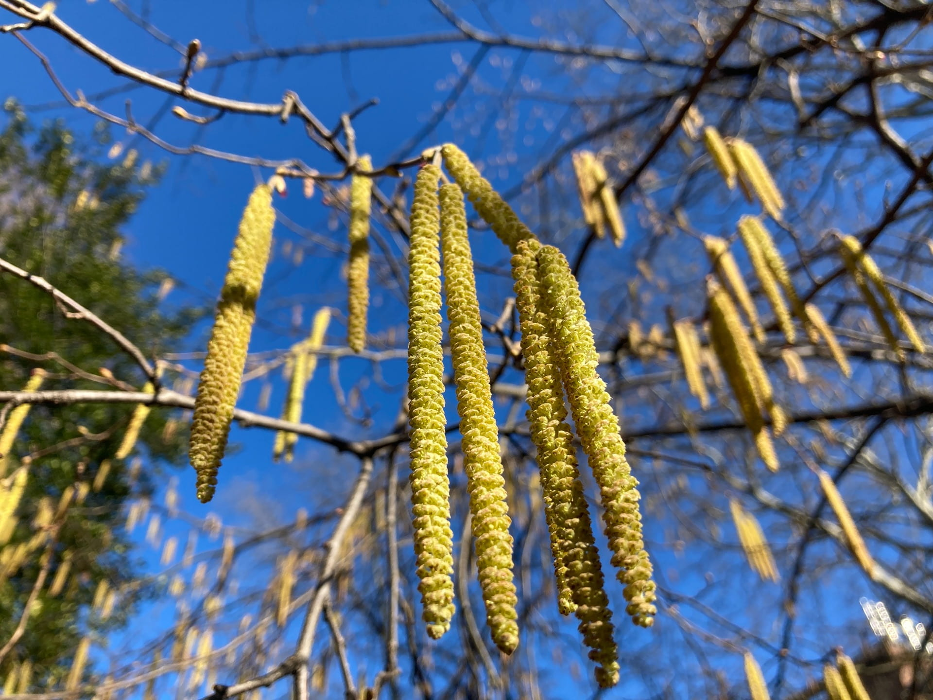 Corylus avellena sways gracefully in the wind.