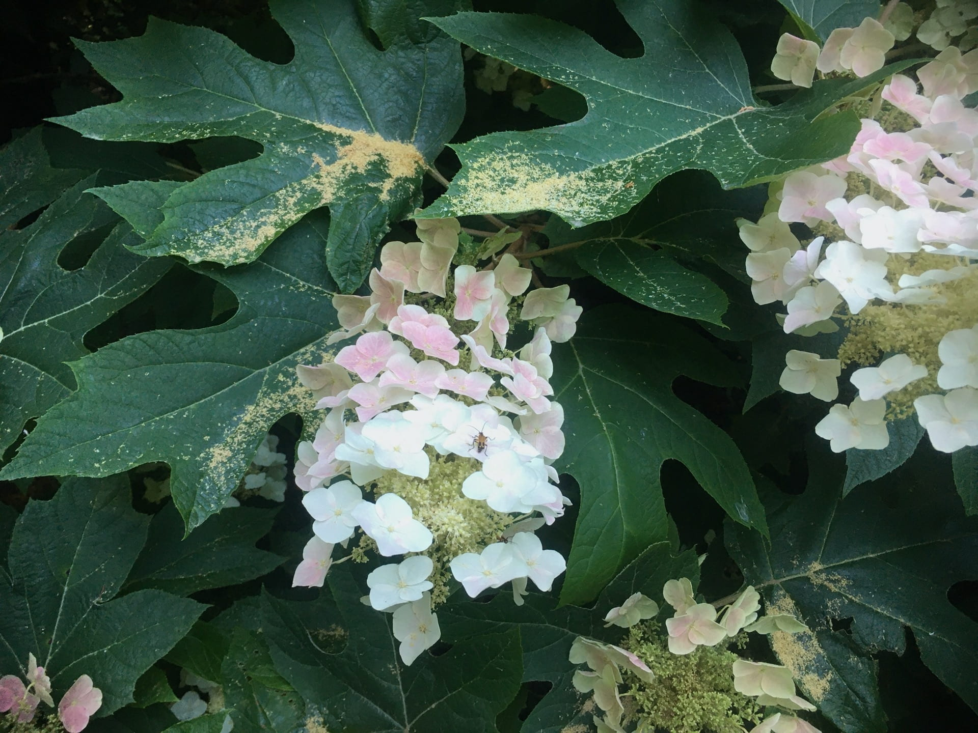 A display of Hydrangea quercifolia flowers in full bloom.