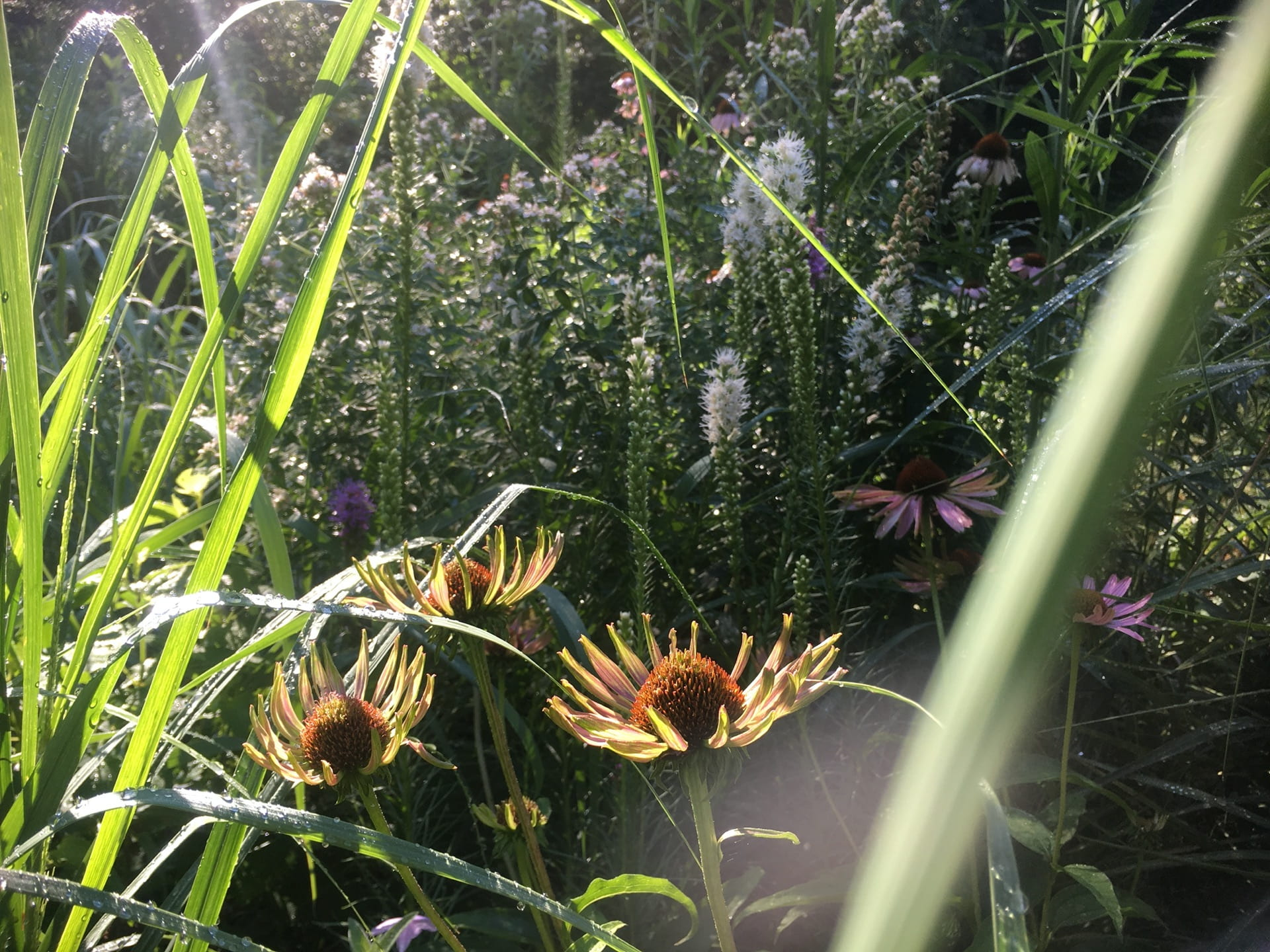 Echinacea purpurea, highlighted by a ray of sunshine.