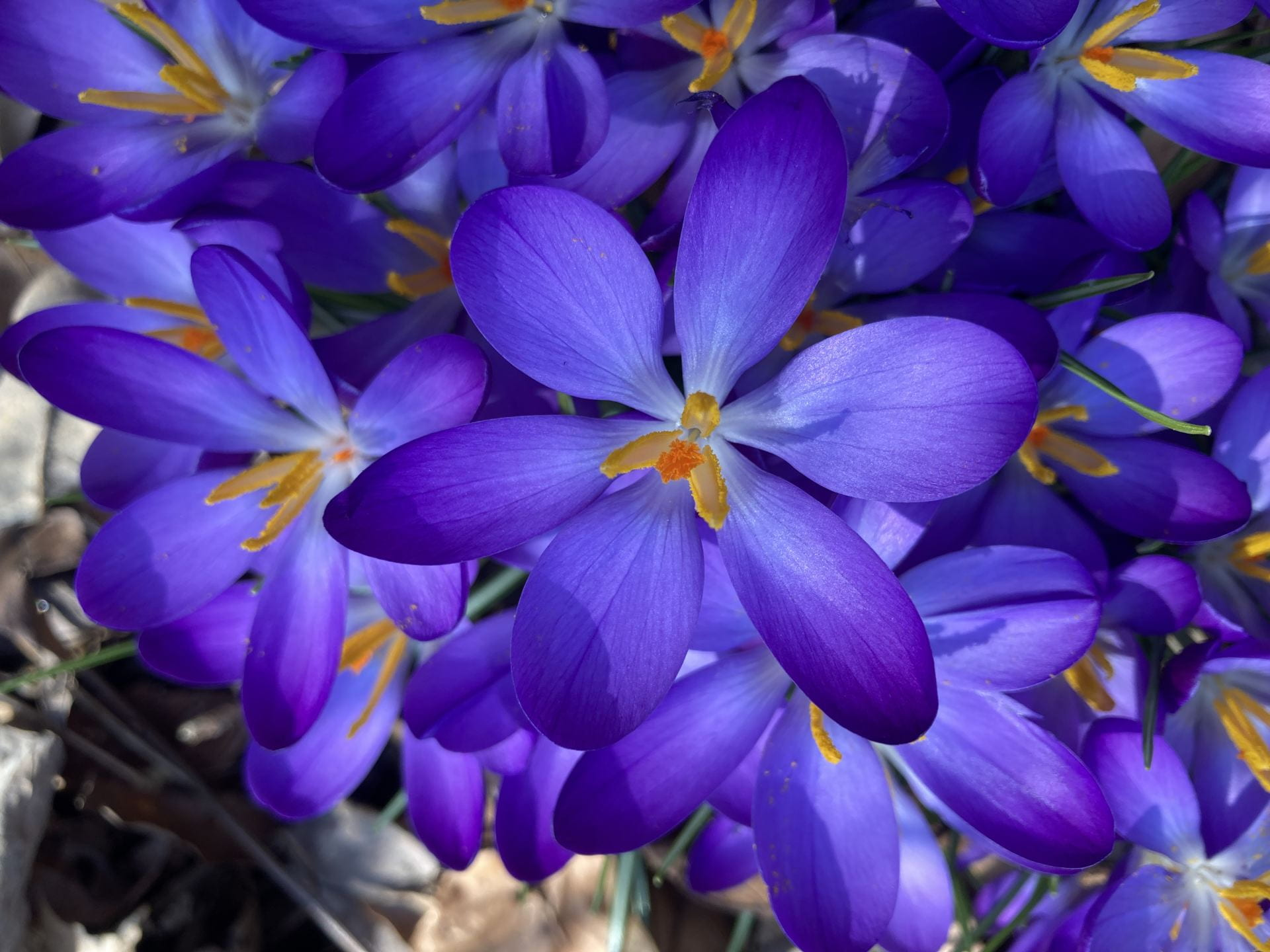 They may be small, but these Crocus certainly command attention.