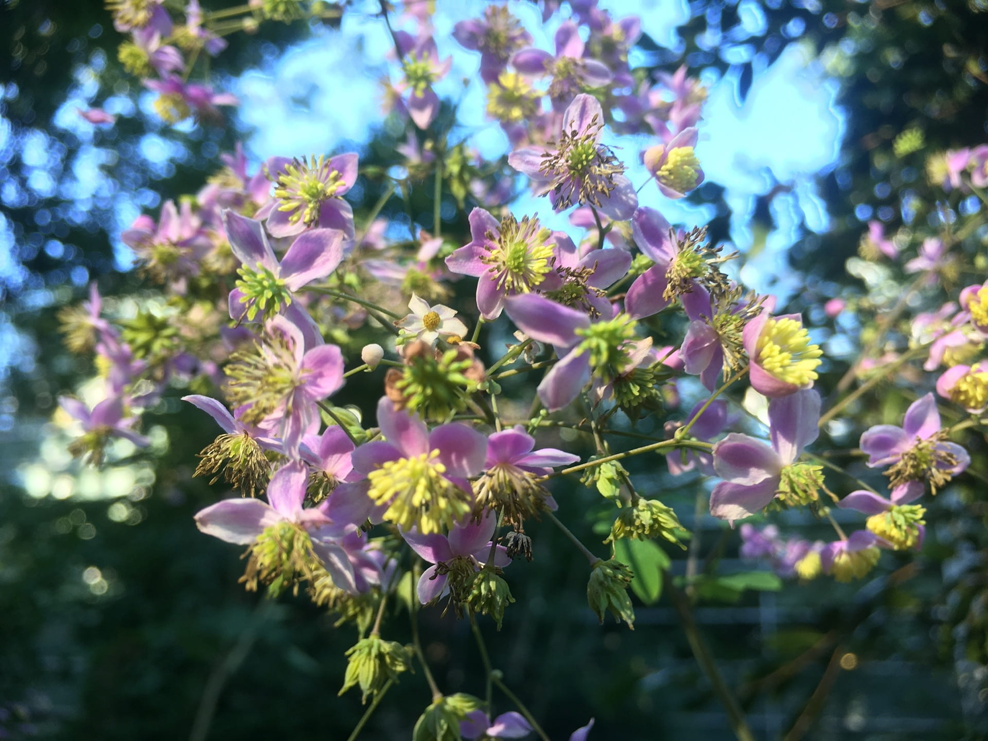 Thalictrum rochebruniatum flowers stand around six feet tall, allowing for an up close look.