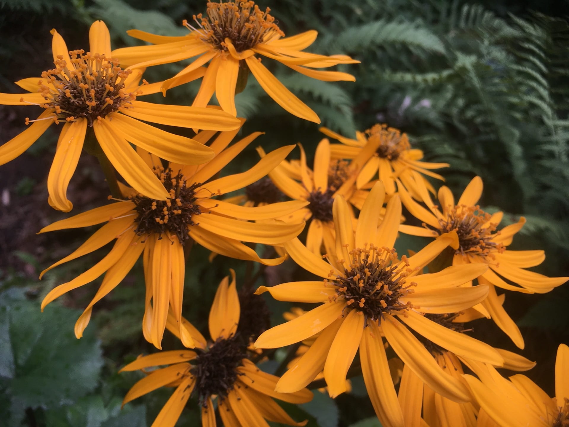 The neon orange flowers of Ligularia dentata brightens a shady corner of the park.