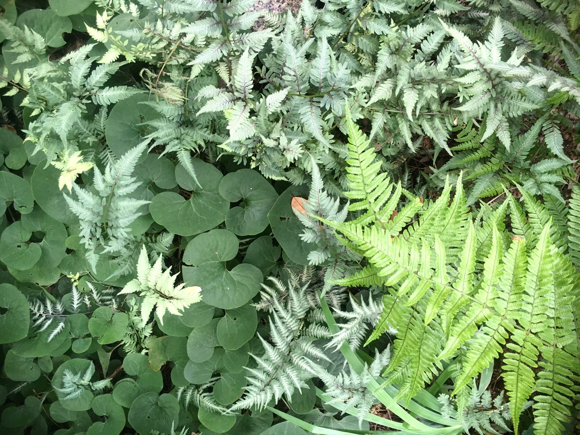 A spectrum of greens created by Asarum canadense, Athyrium niponicum var. pictum, and Dryopteris sp.