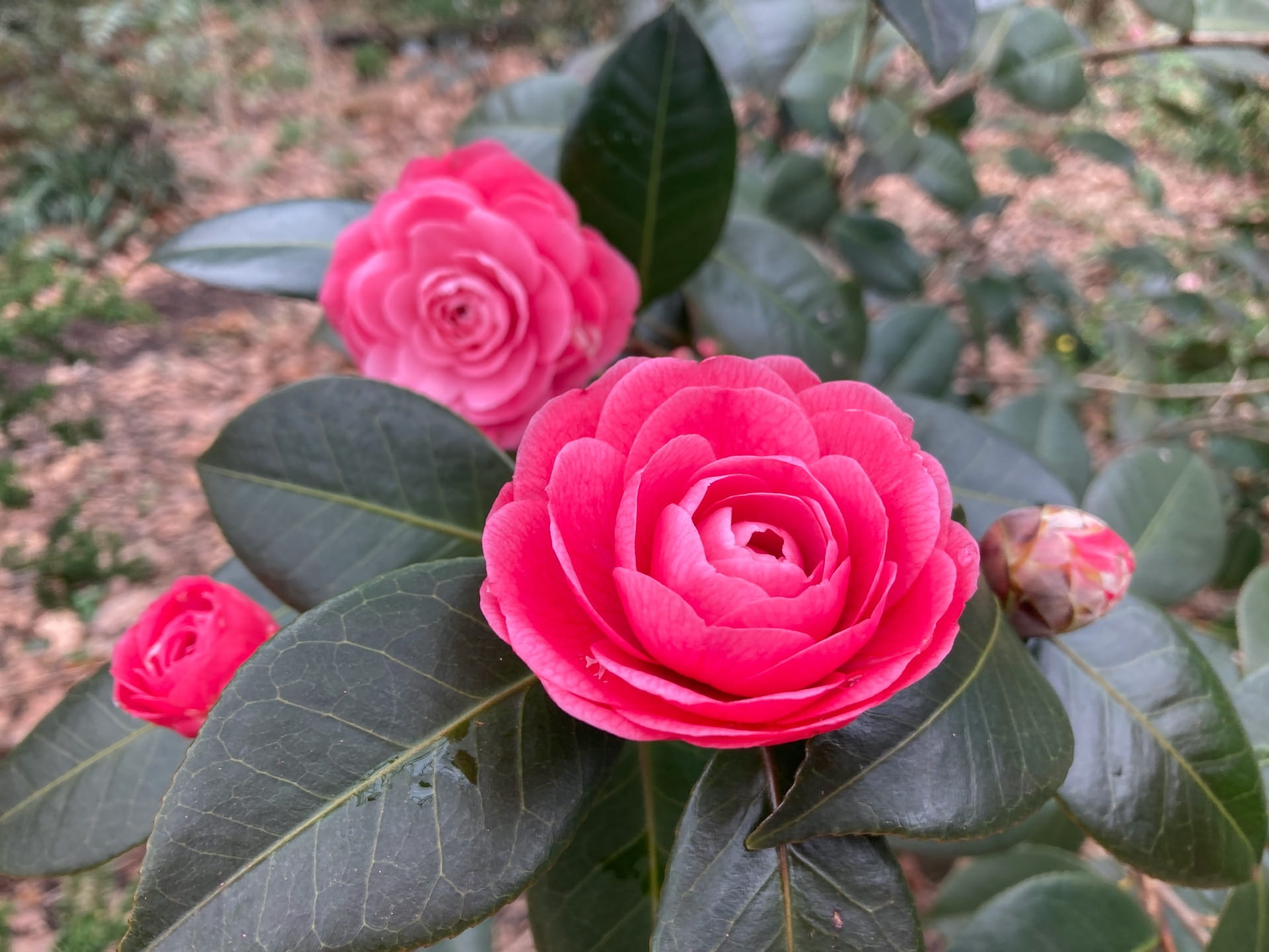 Camellia japonica 'April Kiss' flowers steal the show.