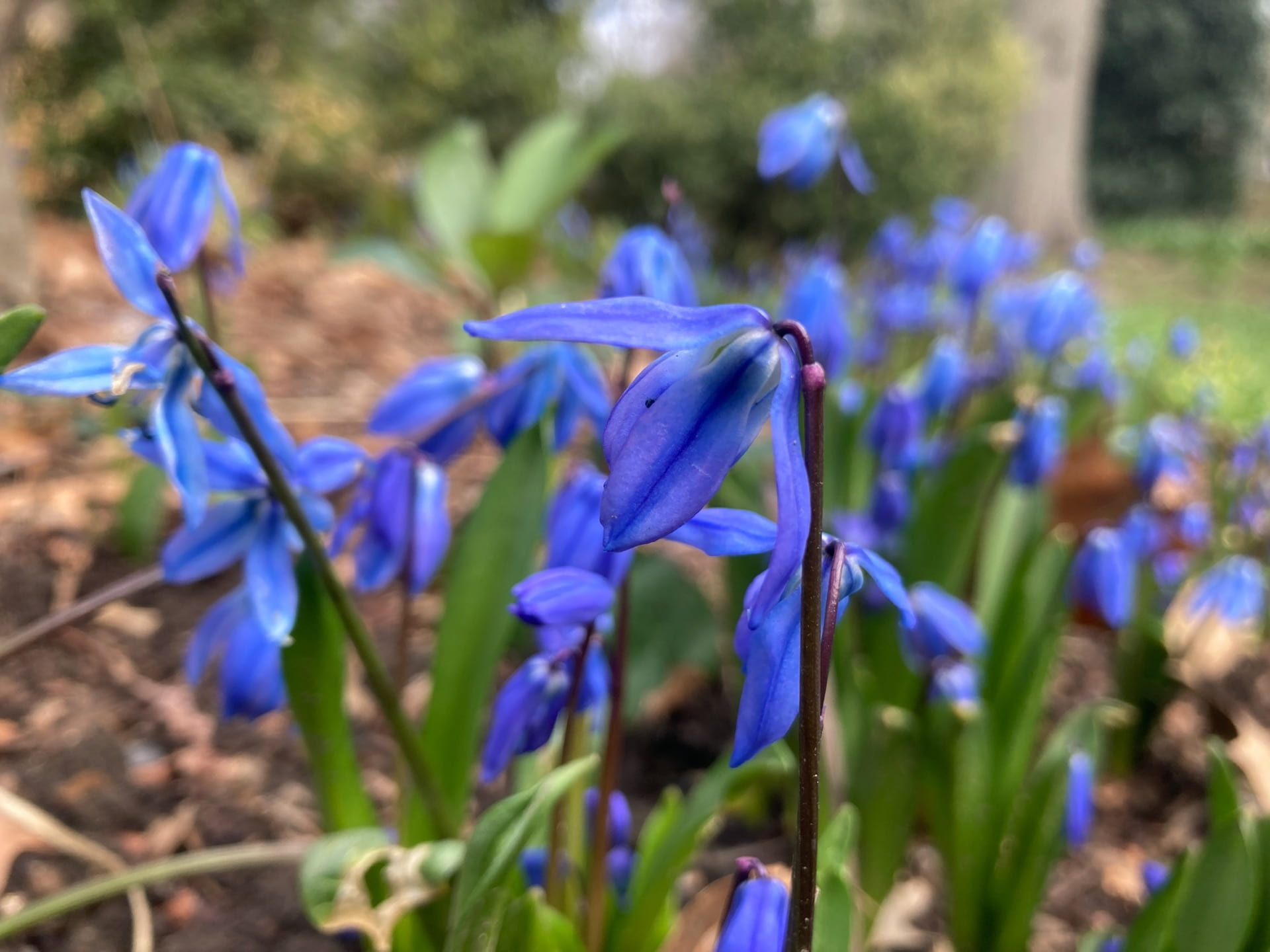 Minor blue bulbs, like these Scilla siberica, are in full bloom.