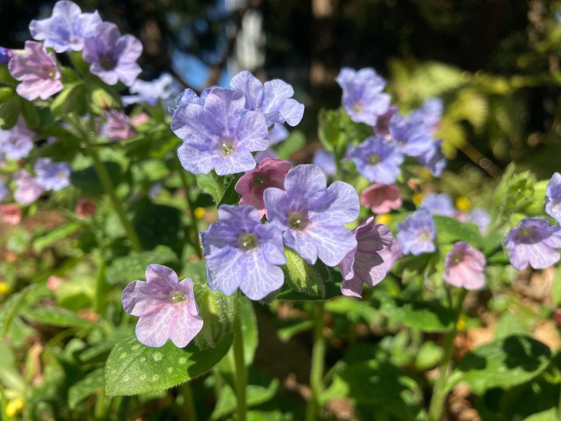 Pulmonaria cv. blooms by the pond.