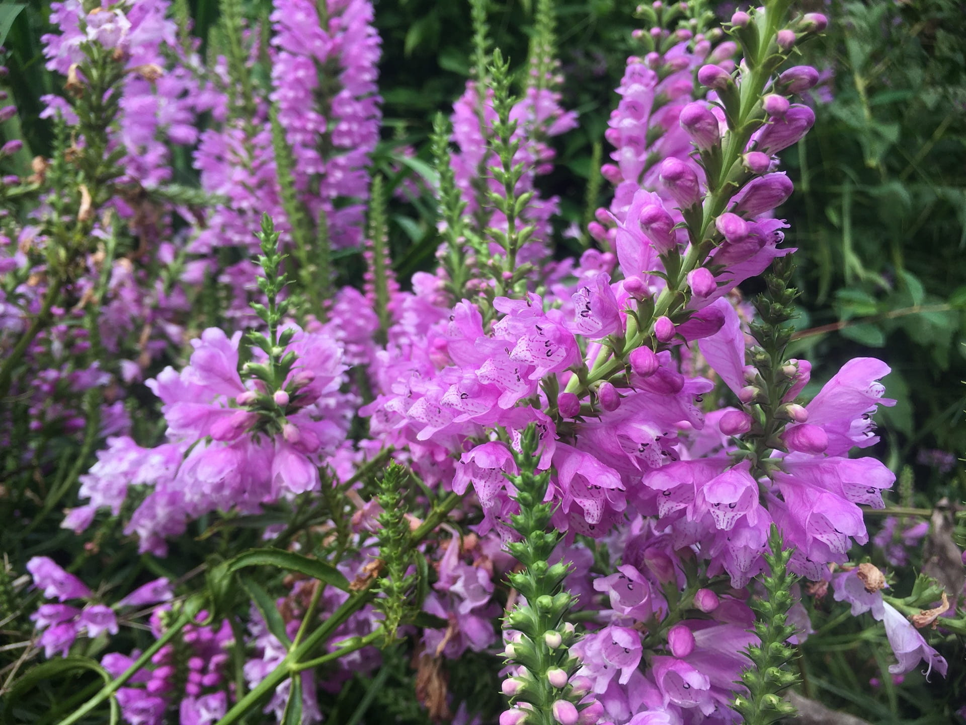 The vivid flowers of Physostegia virginiana thrives in the moist soils of our rain garden.