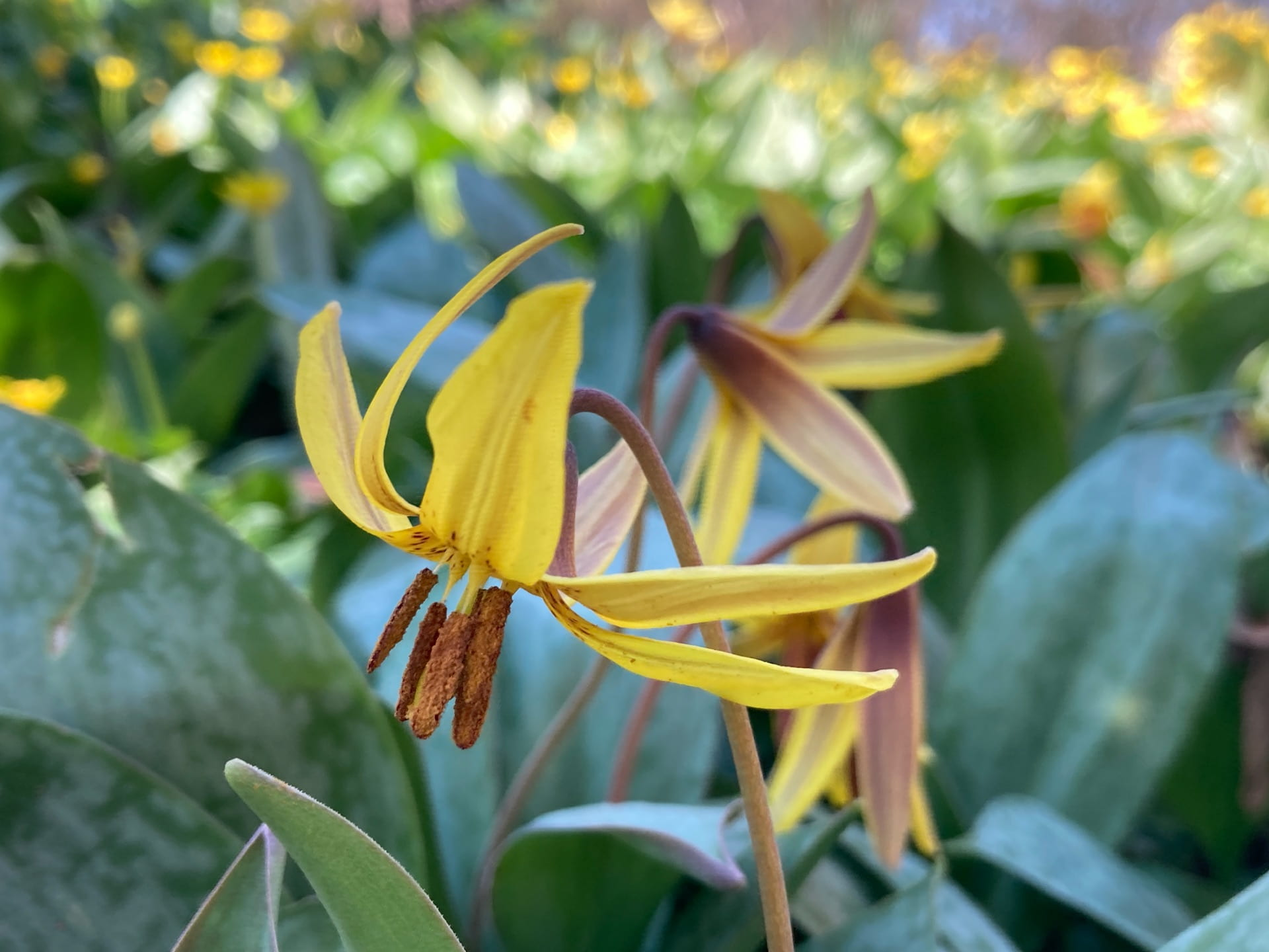 Spring ephemerals, like Erythronium americanum (the trout lily) take advantage of the spring sunshine in the woodland garden.