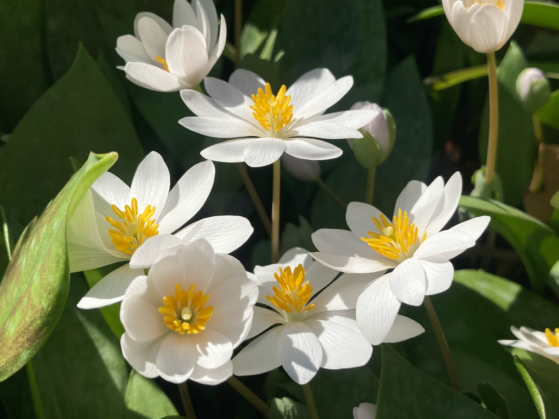 Bloodroot, Sanguinaria canadensis, grows through the park's patch of trout lilies.