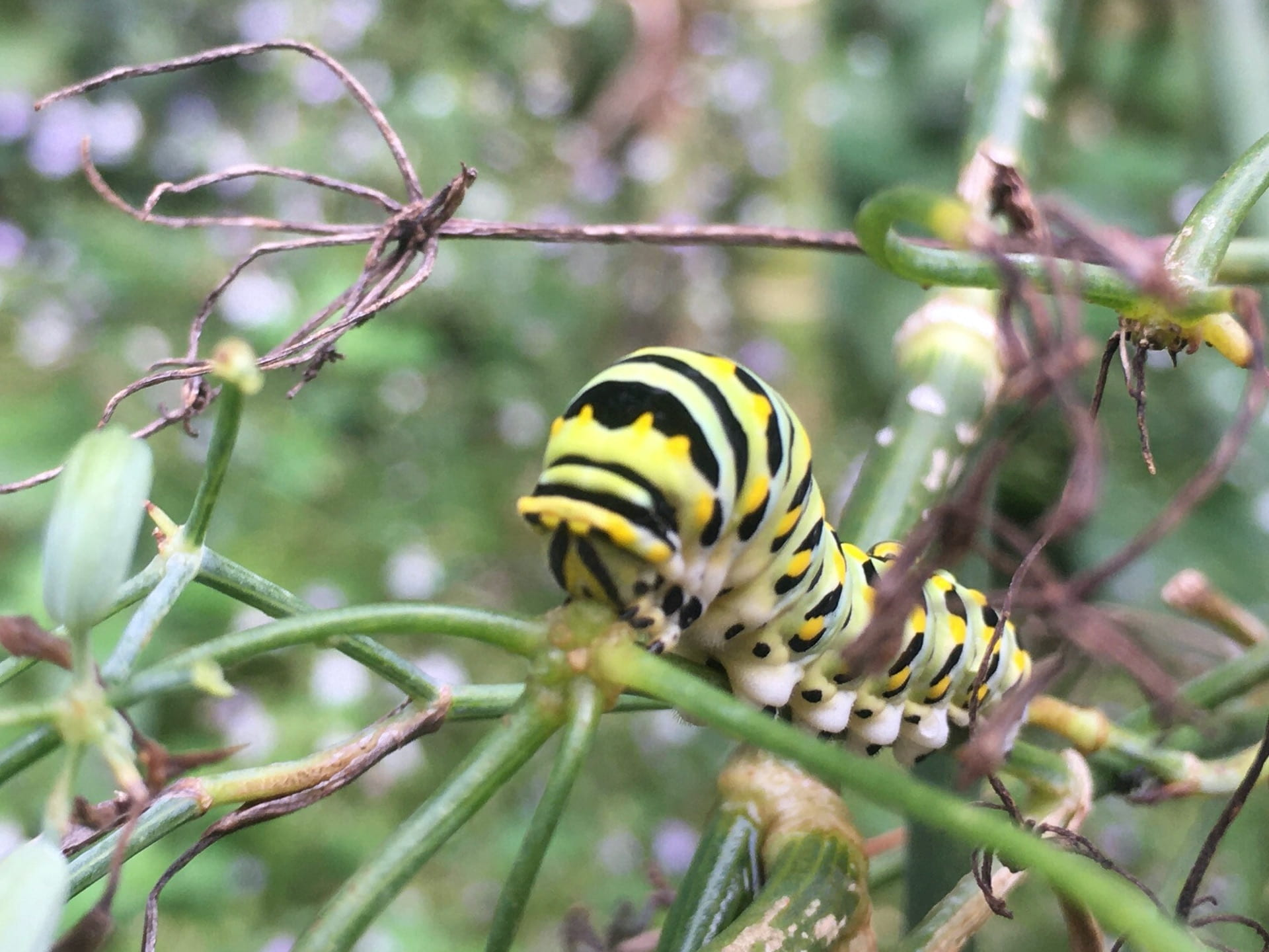 An eastern black swallowtail caterpillar munches on fennel stems.