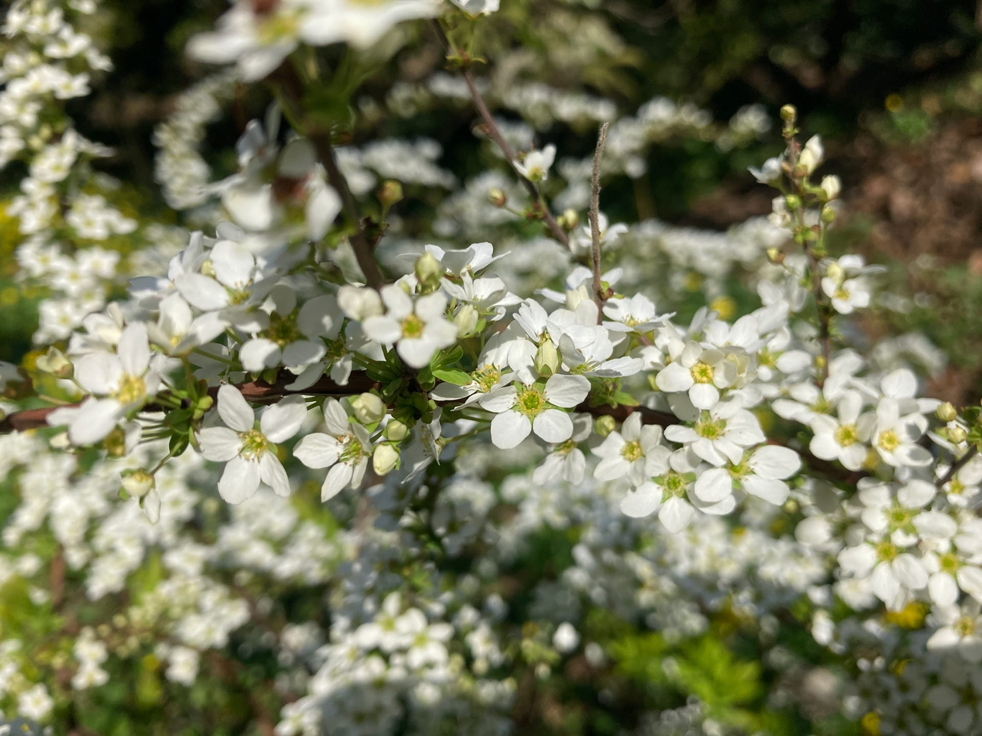 Spirea has many small flowers that combine to create a frothy floral effect.