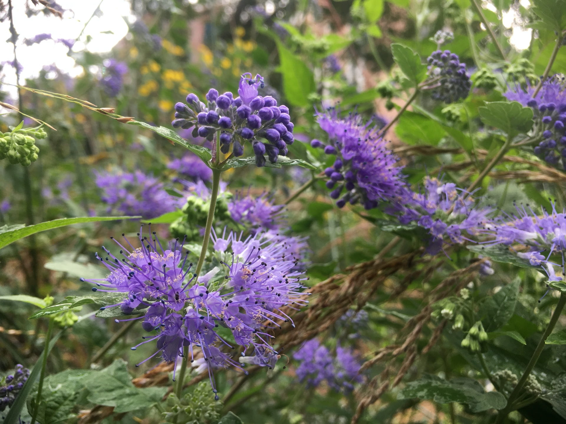 The tiered flowers of Caryopteris x clandonensis viewed up close.